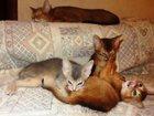 Изображение в   АБИССИНСКИЕ котята, от титулованных родителей, в Москве 20000