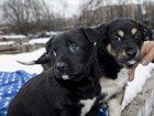 Фотография в   Москва и МО. Сиротки - щенятки 1, 5 месяца, в Москве 100