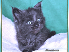 Фотография в Кошки и котята Продажа кошек и котят В питомнике Мейн кунов ADAMAND-COON свободны в Санкт-Петербурге 0