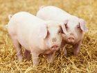 Скачать бесплатно foto  Комбикорм для свиней на откорме 34286602 в Калуге