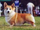 Фото в Собаки и щенки Продажа собак, щенков Куплю подрощеную суку вельш корге пенброк в Москве 0