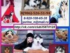 Изображение в Собаки и щенки Продажа собак, щенков Продаю голубоглазых чёрно-белых щенят сибирской в Москве 0