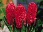 Фото в   Гиацинт цветок от 1 шт. , очень красивый в Красноярске 100