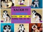 Фотография в Собаки и щенки Продажа собак, щенков В продаже - черно-белые голубоглазые щеночки в Москве 0