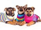 Фотография в   Ищут дом и заботливых мам-пап три овчаристых в Москве 0