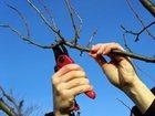 Свежее фото  Формировочная обрезка плодовых деревьев , 34875067 в Москве