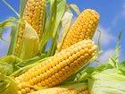 Изображение в   Семена кукурузы на силос и зерно крупным в Краснодаре 0