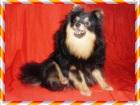 Фото в Собаки и щенки Продажа собак, щенков Три подрощенных щенка ( один рыжий и два в Москве 10000
