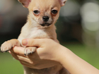 Фото в Собаки и щенки Продажа собак, щенков В продаже красивый и перспективный мальчик в Москве 50000