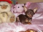 Фотография в Собаки и щенки Вязка собак Предлагается для вязки молодой темпераментный в Москве 4000