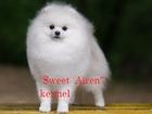 Foto в Собаки и щенки Вязка собак Шикарный кобель в померанском типе предлагается в Москве 15000