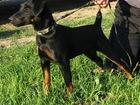 Изображение в Собаки и щенки Вязка собак 5-летний ягд ищет подружку. Здоровый, с  в Истре 0