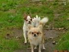 Изображение в Собаки и щенки Вязка собак Чихуахуа - отличные кобели для вязки, ркф, в Москве 3000