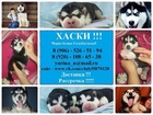 Фотография в Собаки и щенки Продажа собак, щенков Недорого продам замечательных чистокровных в Москве 8000