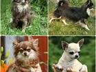 Фотография в Собаки и щенки Вязка собак Чихуахуа кобели приглашают дам на вязку. в Москве 3000