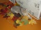 Изображение в   Нужна вязка опытного кота , так как это будет в Александрове 1500
