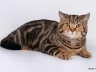 Изображение в Кошки и котята Вязка Шотландский короткошерстный кот Томатин черно-мраморного в Москве 3000
