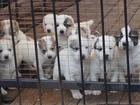 Фото в   Продаются породистые щенки среднеазиатской в Кургане 20000