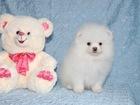 Изображение в Собаки и щенки Продажа собак, щенков Мальчик шпица. Белоснежного окраса, будущий в Москве 45000