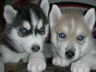 Изображение в Собаки и щенки Продажа собак, щенков Клубные щенки Сибирской Хаски (девочки), в Москве 20000