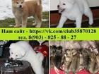 Фотография в Собаки и щенки Продажа собак, щенков Продам шикарных чистокровных щенков акита-ину! в Москве 45000