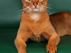 Фото в Кошки и котята Вязка Ласковый, эффектный, опытный Большой Международный в Москве 4000