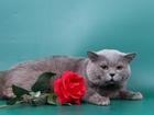 Фотография в Кошки и котята Вязка Предлагаем для вязки- Британского, клубного в Москве 2000