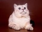 Изображение в Кошки и котята Вязка Предлагаем для вязки- Шотландского пямоухого в Москве 2500
