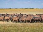 Увидеть изображение Другие животные Продаю племенных овец эдельбаевской породы, 37760265 в Санкт-Петербурге