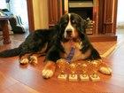 Фотография в Собаки и щенки Продажа собак, щенков Вязка кабеля Бернского зенненхунда в возрасте в Москве 0