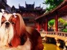 Скачать фото Вязка собак Яркий кобель ши-тцу для вязки 37974697 в Москве
