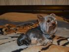 Фото в Собаки и щенки Вязка собак Йоркширский терьер стандарт ищет подругу в Москве 2000