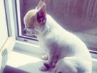 Изображение в Собаки и щенки Вязка собак Предлагаю молодого мальчика чихуахуа для в Москве 0