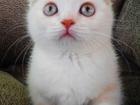 Фотография в Кошки и котята Продажа кошек и котят Питомник шотландских кошек Ананда предлагает в Москве 20000