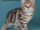 Фото в Кошки и котята Продажа кошек и котят Питомник Stately предлагает к продаже котят в Москве 20000