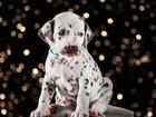 Фотография в   Племенной питомник предлагает щенков от родителей в Москве 30000
