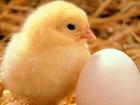 Скачать изображение  Инкубатор для яиц 38225506 в Белгороде