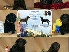 Фото в Собаки и щенки Продажа собак, щенков Продаются щенки, лабрадор!   Цвет:черный, в Москве 0