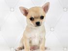 Фотография в Собаки и щенки Продажа собак, щенков Питомник Челси Хаус предлагает г\ш мальчика в Москве 20000