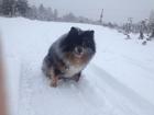 Просмотреть фото Вязка собак Москва Измайлово Шпиц голубой мраморный мальчик ищет девочку 38311853 в Москве