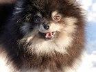 Свежее foto Продажа собак, щенков Померанские шпицы настоящие мини медвежата из питомника хрустальная мечта, Вязка и щенки для продажи 38343906 в Москве