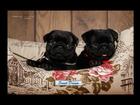 Изображение в   Предлагаю к продаже элитных щенков мопса. в Домодедово 60000