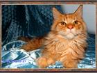 Фото в Кошки и котята Продажа кошек и котят Продаются красивые котята породы мейн-кун. в Москве 25000