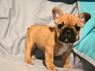 Изображение в Собаки и щенки Продажа собак, щенков Предлагаются отличные щенки французских бульдогов! в Москве 30000