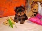 Изображение в Собаки и щенки Продажа собак, щенков Йоркширские терьеры- сказка с доставкой на в Москве 12000