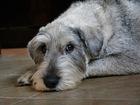 Изображение в   Красивая, породная собака.   Без проблем в Москве 0