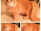 Фото в Кошки и котята Вязка Опытный длинношерстный коротколапыш ищет в Москве 5000