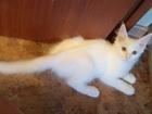 Фото в Кошки и котята Продажа кошек и котят Предлагается очень красивые малыши мейн кун в Москве 10000