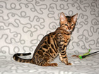 Изображение в Кошки и котята Продажа кошек и котят Питомник Yves Piaget предлагает бенгальских в Москве 0