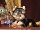 Фото в Собаки и щенки Продажа собак, щенков Красивая девочка, взрослый вес до 2. 5 кг. в Москве 30000